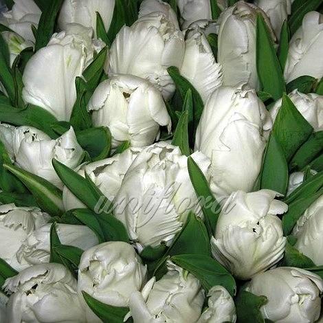 Тюльпан белый попугайный