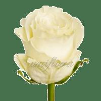 """Роза сорта """"Мондиаль"""""""