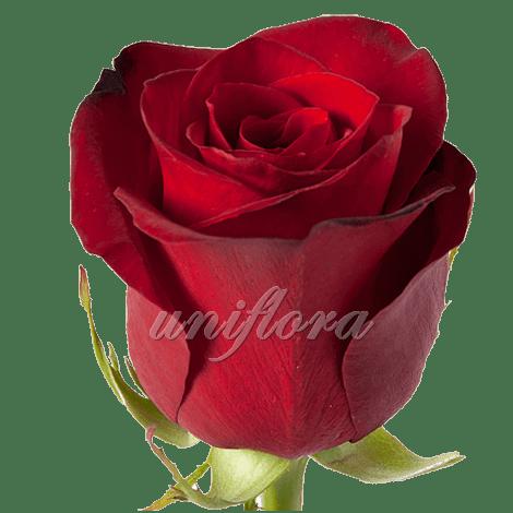"""Роза сорта """"Фридом"""""""