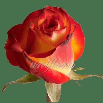 "Роза сорта ""Хай мэджик"""