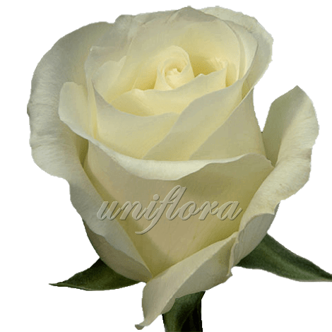 """Роза сорта """"Амелия"""""""