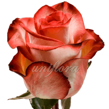 "Роза сорта ""Блаш"""