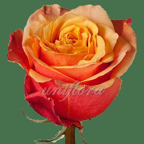 """Роза сорта """"Черри брэнди"""""""