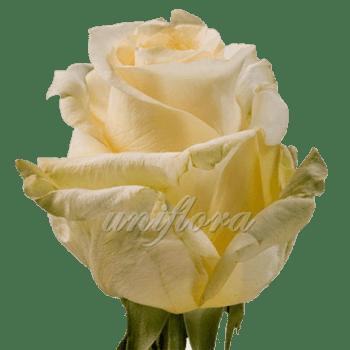 """Роза сорта """"Крем де ля крем"""""""