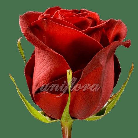 "Роза сорта ""Форевер янг"""