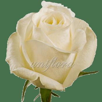 """Роза сорта """"Хай пис"""""""