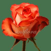 """Роза сорта """"Игуана"""""""