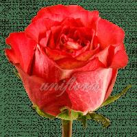 """Роза сорта """"Игуаза"""""""