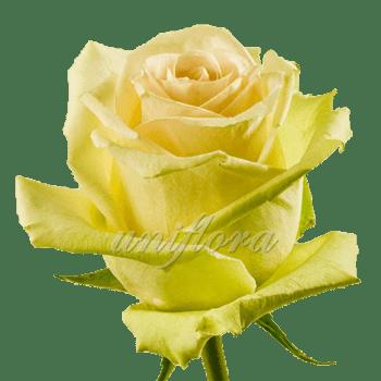 """Роза сорта """"Ла перла"""""""