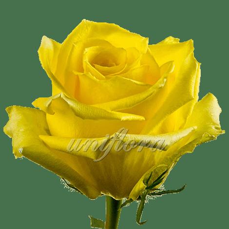 """Роза сорта """"Мохана"""""""