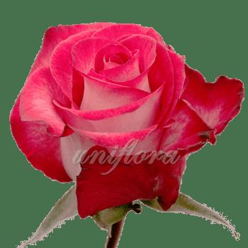 """Роза сорта """"Ривьера"""""""
