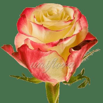 """Роза сорта """"Свитнес"""""""