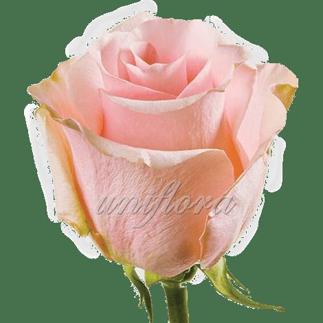 """Роза сорта """"Титаник"""""""