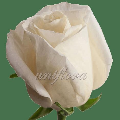 """Роза сорта """"Белый шоколад"""""""