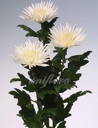 """Хризантема одноголовая сорта """"Анастасия"""" белая"""