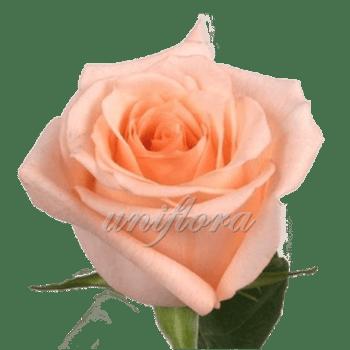 """Роза сорта """"Энгажемент"""""""