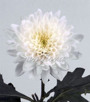 """Хризантема сорта """"Евро"""" белая"""