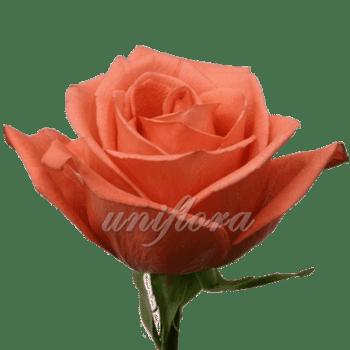 """Роза сорта """"Муви стар"""""""