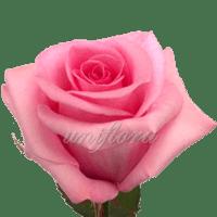 Роза сорта «Блюшн акито»