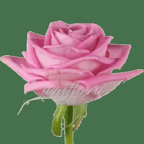 Роза сорта «Аква»
