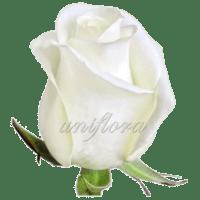 Роза сорта «Акито»