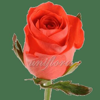 Роза сорта «Вау»