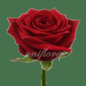 Роза сорта «Гран при»