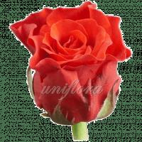Роза сорта «Эль торо»