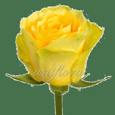 Роза сорта «Илиос»