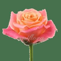 Роза сорта «Мисс Пигги»