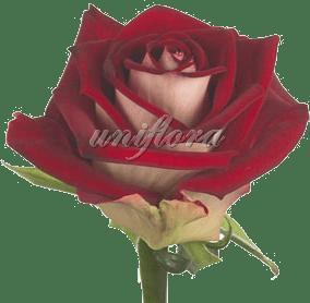 Роза сорта «Нью фешн»