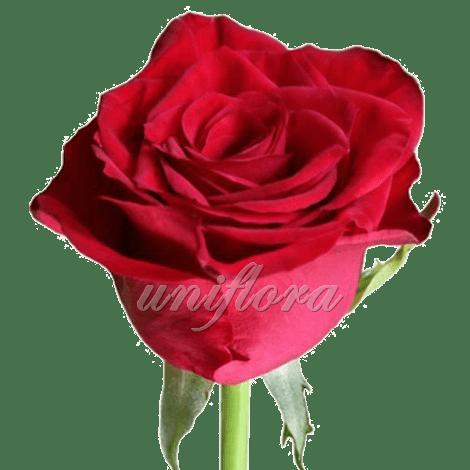Роза сорта «Престиж»