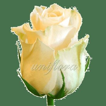 Роза сорта «Талея»