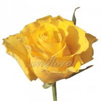 Роза сорта «Сфинкс»