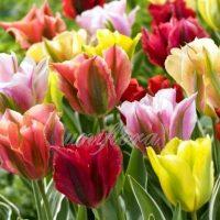 Тюльпаны зеленоцветные