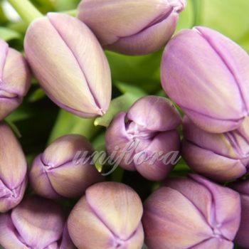 Тюльпан бледно-лиловый