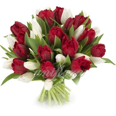 Букет из 35 белых и бордовых тюльпанов
