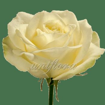 Роза сорта «Аваланж»