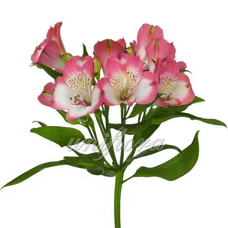 Бело-розовая альстромерия