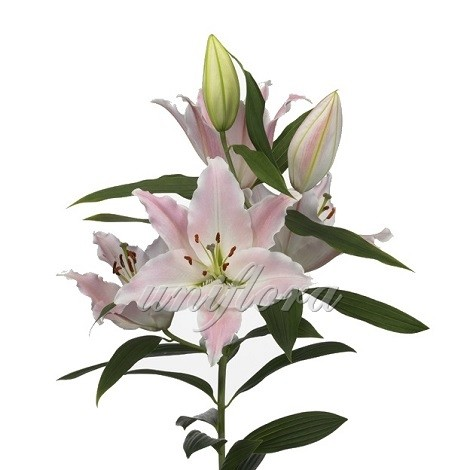 Бело-розовая лилия