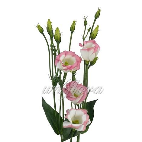 Бело-розовая эустома