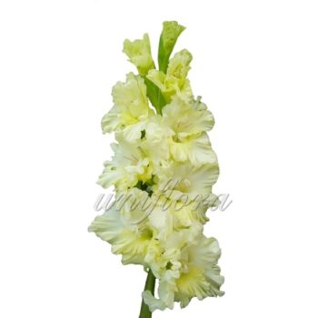 Бледно-желтый гладиолус