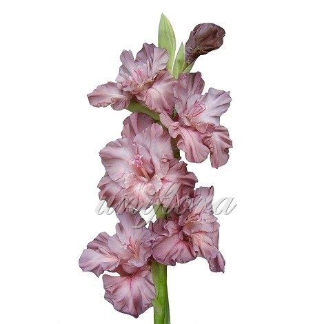Дымчато-розовый гладиолус