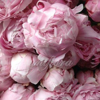 Дымчато-розовый пион