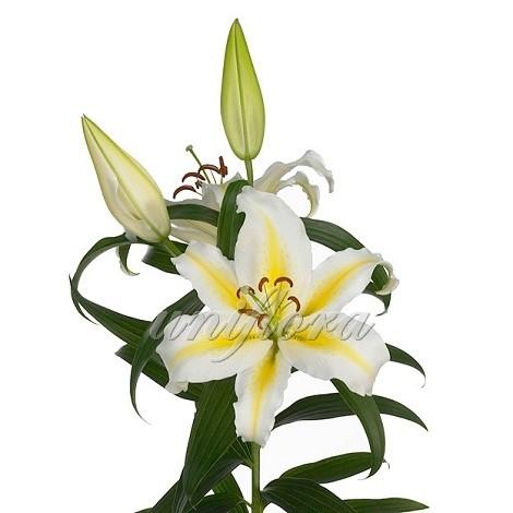 Желто-белая лилия