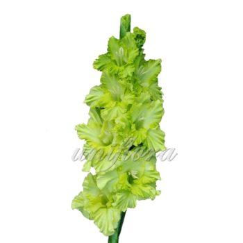 Зеленый гладиолус