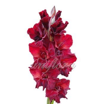 Карминно-красный гладиолус