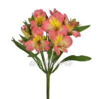 Лососево-розовая альстромерия с желтыми мазками