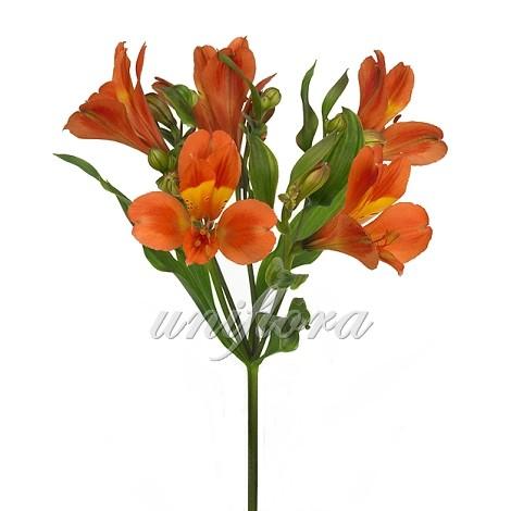Оранжевая альстромерия