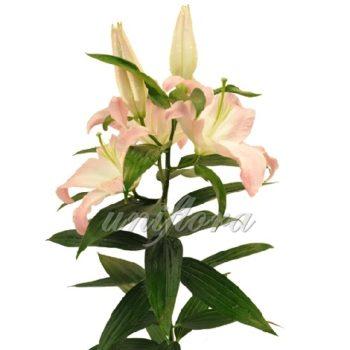 Персиковая лилия